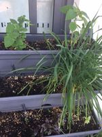 Chives and Cape Gooseberries